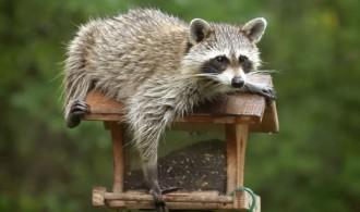 sekrit-raccoon